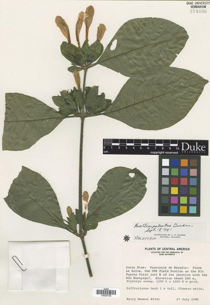 Acanthaceae_Ruellia palustris