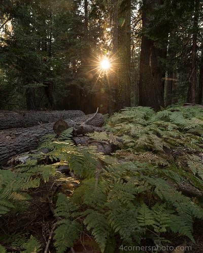 4cornersphoto california color fern forest landscape log mariposacounty mountains northamerica rural scenery sierranevada summer sun sunset tree unitedstates yosemitenationalpark us