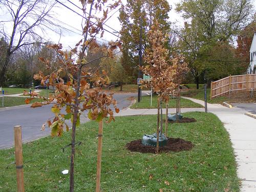 Casey Trees Volunteer Planting, Columbia Boulevard