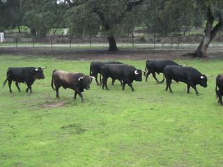 Toros bravos en Dehesa Frías, en el municipio de Constantina.