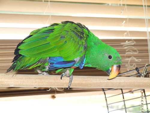Mac - Male Eclectus