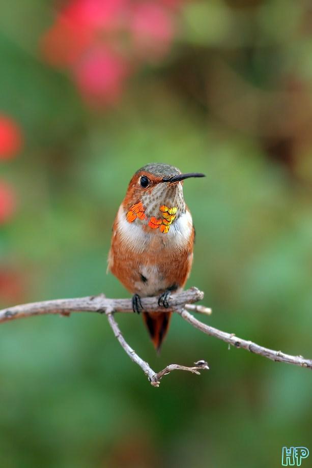 Rufous Hummingbird 110612