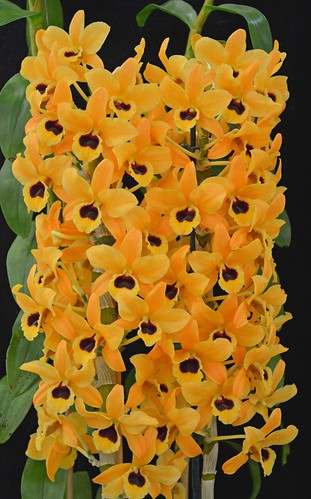 Dendrobium Orange Gem