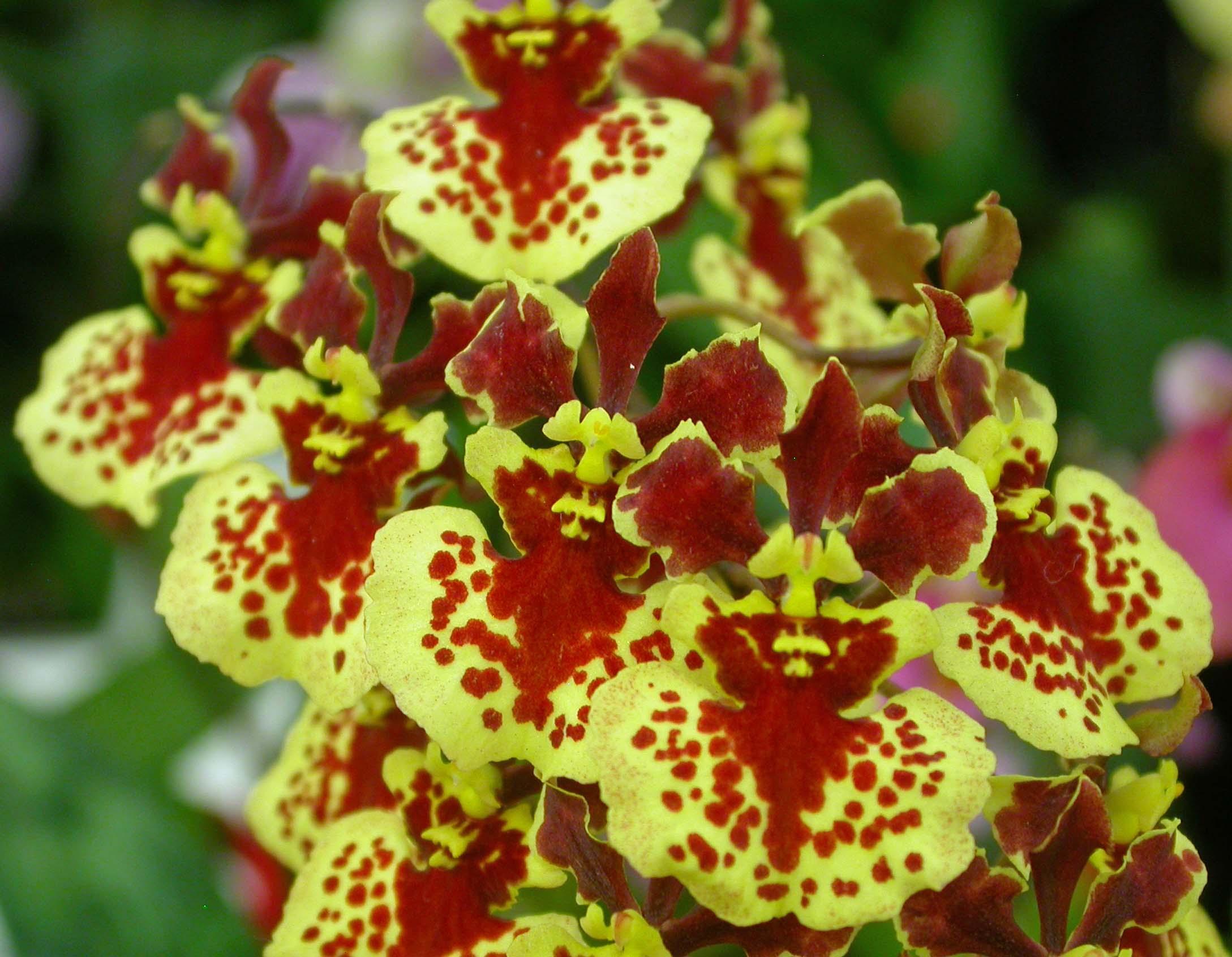 Tolumnia William Thurston 'Orchidglade'