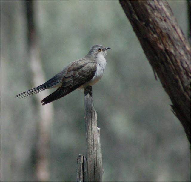 Pallid Cuckoo adult