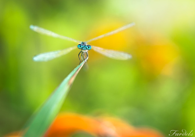 A DEVIL IN THE FOREST - DAMSELFLY - Coenagrion scitulum - Mindblowing Macro Photography
