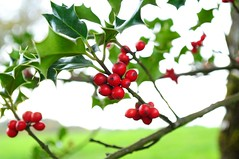 berry, branch, tree, plant, flora, produce, fruit, food, aquifoliales, holly,