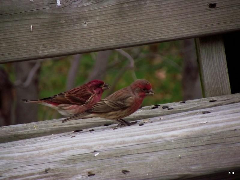 Purple Finch (3)