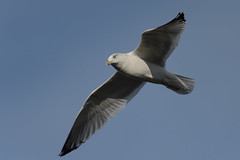 Gull_46957.jpg by Mully410 * Images