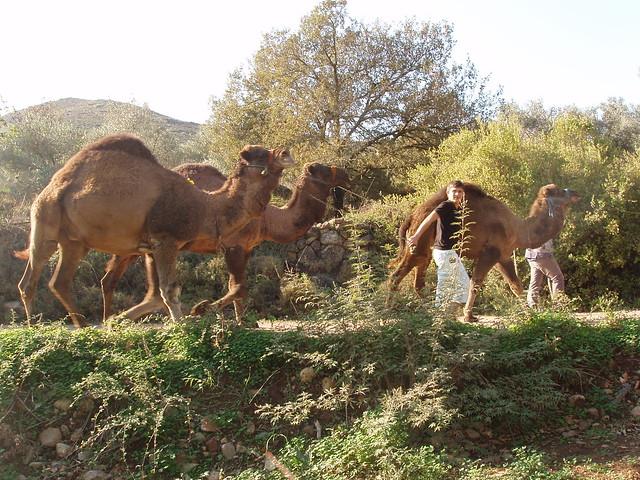 201211180144_Derekoy-camels