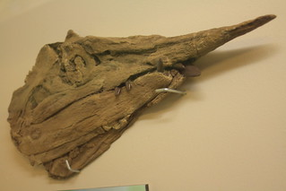 Protosphyraena nitida at the Rocky Mountain Dinosaur Resource Center, Woodland Park, CO