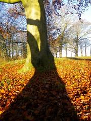 Beech-Tree Shadows