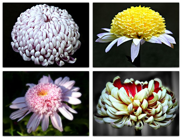 In Japan,  the Chrysanthemum symbolizes high honor and Royalty.""