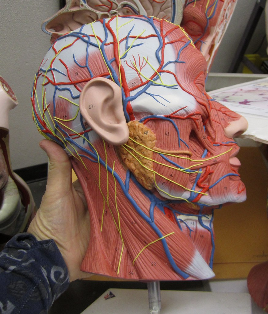 Lateral Head And Neck Muscles Of Facial Expression Inn Flickr