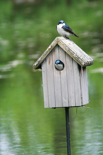 bird wildlife birding ornithology birdwatching oiseau nestbox faune treeswallow ornithologie nichoir hirondellebicolore