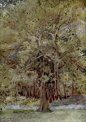 <strong>AZIZ + CUCHER - </strong> Scenapse #2 (Ficus 2)<br />Aziz + Cucher, Scenapse #2 (Ficus 2), c-print on Endura Metallic paper with diasec mount, 127 cm x 182 cm, 2007