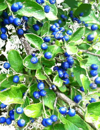 Snow on Sapphire Berries (Digitally Modified Photo) by randubnick