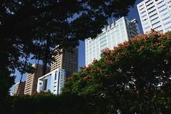 都市中大量種植行道樹,增加公園綠地,增加的多半是外來種植物,近年來已經逐漸增加原 生種植物之利用。圖中為台灣欒樹。  王力平攝