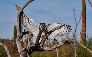 112812-057, Great Horned Owl
