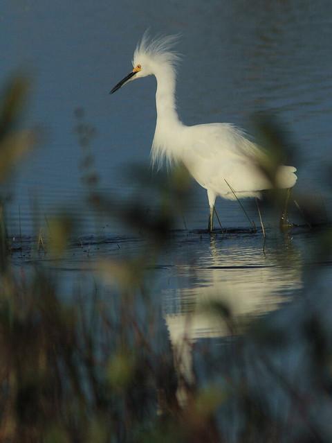 Snowy Egret 20121201
