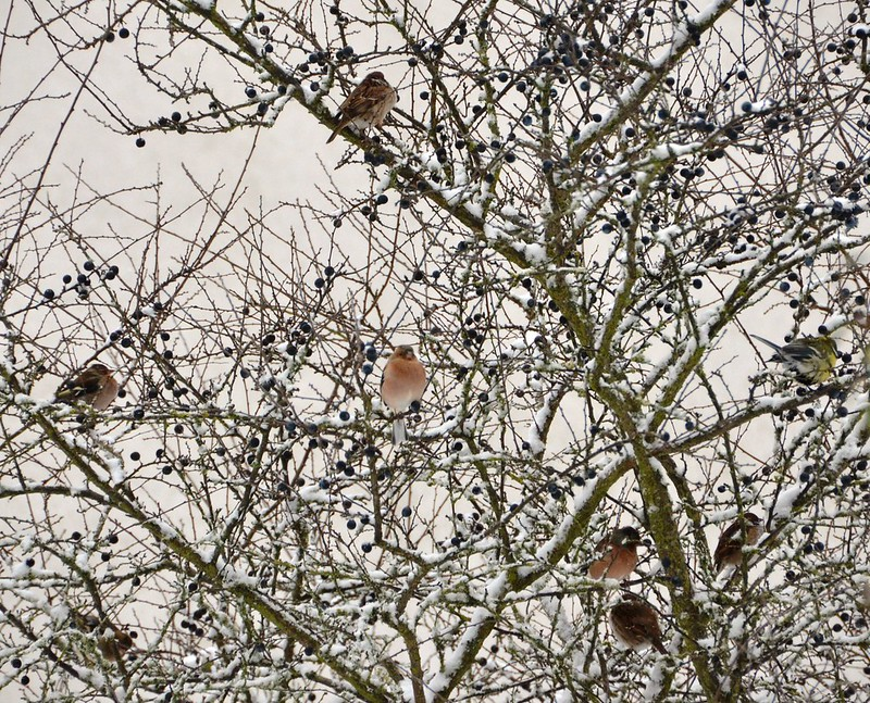 Chaffinch collection