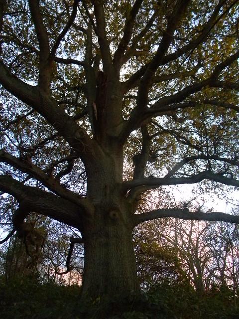 Big tree at top of climb