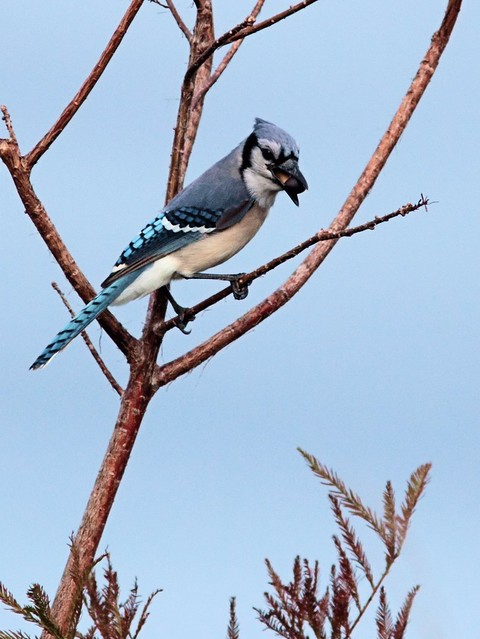 Blue Jay 20121205