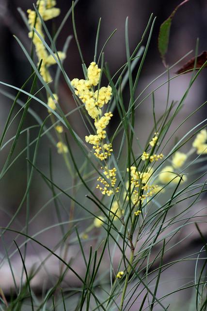 Acacia Mucronata Subsp Longifolia Narrow Leaf Wattle