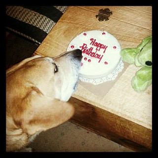 Cake time! Sophie's 6th #birthday #dogs #adoptdontshop #rescue #love