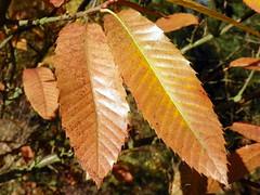 Sweet Chestnut (Castanea sativa) autumn leaves