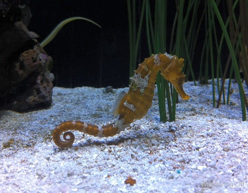 sea horse at the Seattle Aquarium