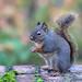 Little Squirrel by janruss