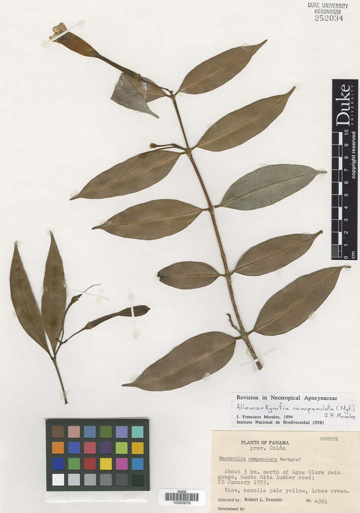 Apocynaceae_Mandevilla campanulata