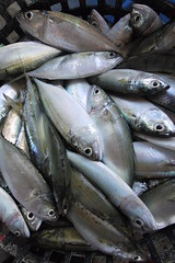 animal, fish, japanese amberjack, fish, marine biology, forage fish, food, sardine,