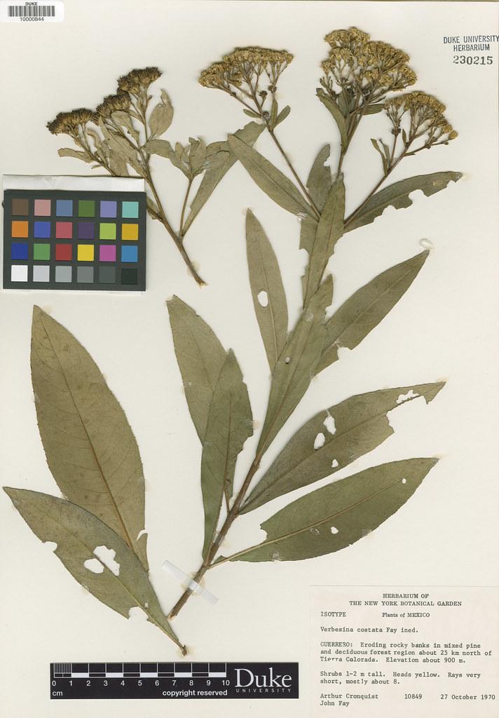 Asteraceae_Verbesina costata