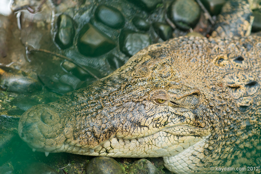 crocodile semenggoh