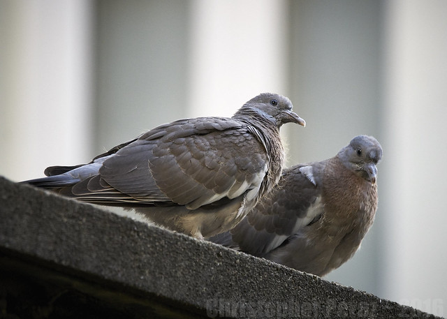 Doves ~ new arrivals