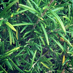 Rosemary #366photos