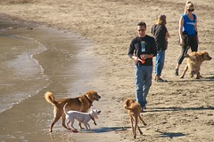 animal sports(0.0), hound(0.0), greyhound racing(0.0), sports(0.0), dog sports(1.0), animal(1.0), dog(1.0), beach(1.0), pet(1.0), mammal(1.0), dog walking(1.0),