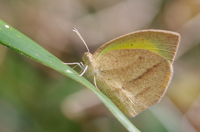 Eurema laeta