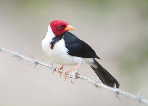 Pantanal starling - I'm everywhere!