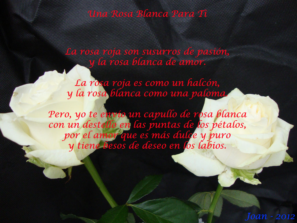 una-rosa-blanca