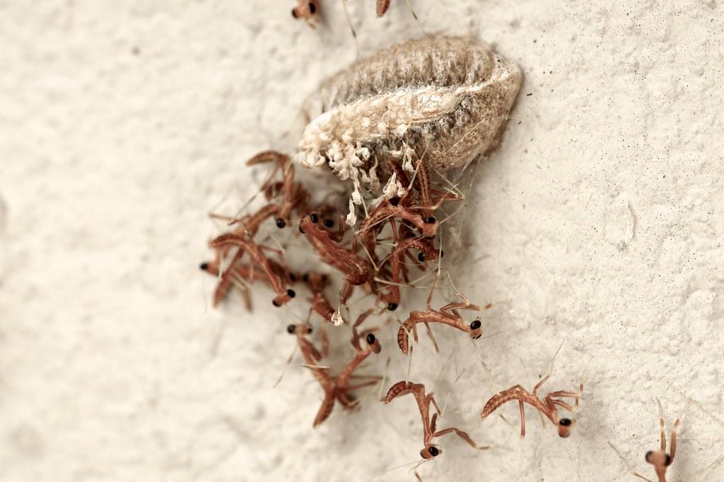 Praying Mantis Eggs Topic: Praying ...