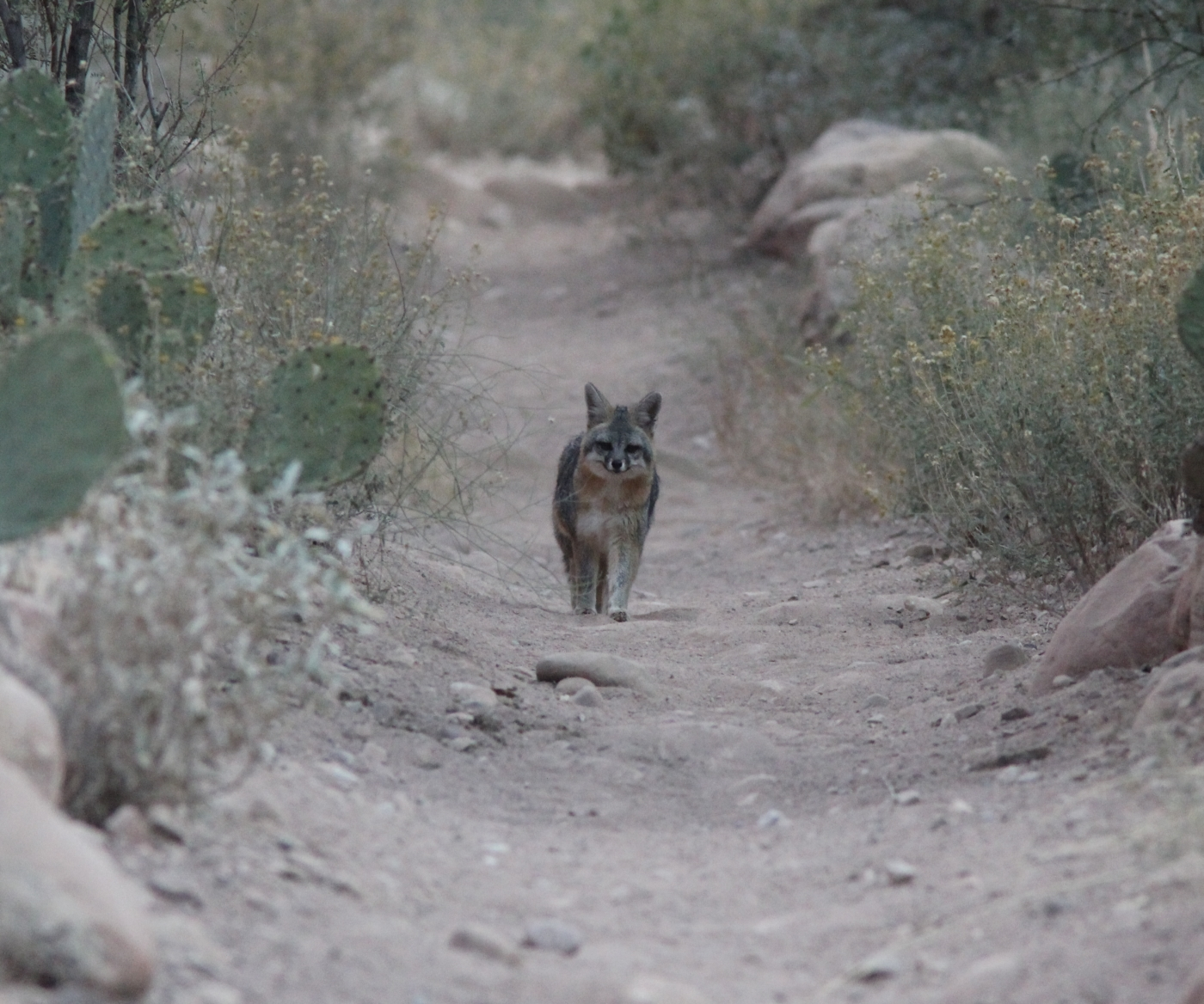 Gray Fox, Bright Angel Campground, Grand Canyon