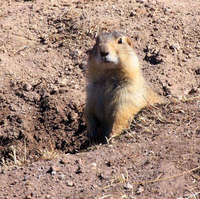 Gunnison's Prairie Dog (Cynomys gunnisoni) ; Valles ...