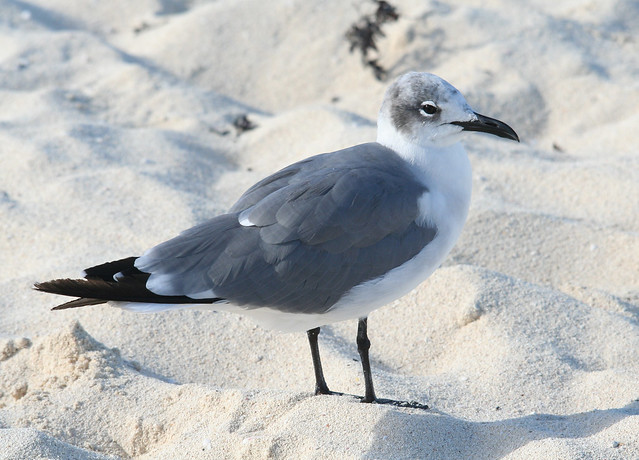 laughing gull molting adult 01