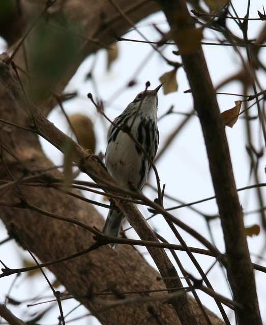black and white warbler (1)