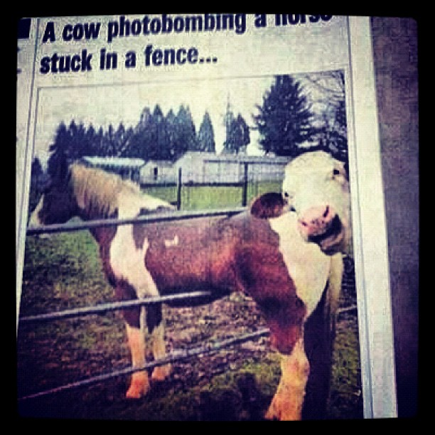 Haha this rules. A photo of a #cow #photobombing a #horse stuck in a fence