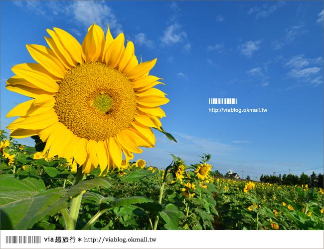 【新社花海2012】2012新社花海節活動介紹及交通資訊8-15
