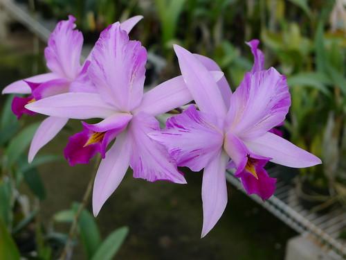 Laelia anceps var. disciplinata (lineata striata) by voorchid